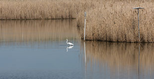 Reeds by the Lake Snow Egret Royalty Free Stock Photo