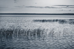 Reeds in the lake Stock Photo