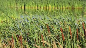 Reeds on the lake stock video footage