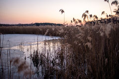 Reeds at the lake. Reeds on the lake at sunset Royalty Free Stock Photo