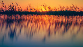 Reeds in lake at sunset royalty free stock photos
