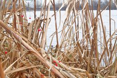 Reeds in the lake, Swaying Reed background for web site or mobile devices Stock Photography