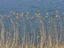 Reeds at the lake. On the water lake surface in the morning sunlight Royalty Free Stock Photo