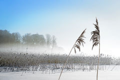 Reeds on lake in winter Stock Photo