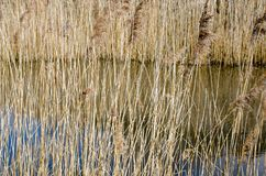 Reeds by lake in the Winter. Tall Reeds by lake in the Winter Royalty Free Stock Images