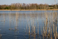 Reeds at a lakeside Stock Photography