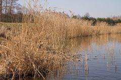 Reeds at a lakeside Stock Images