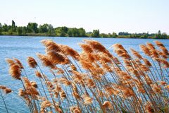 Reeds on lakeside royalty free stock photography