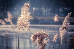 Reeds. Landscape in blue and orange Royalty Free Stock Photo