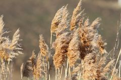 Reeds in late winter Royalty Free Stock Photo