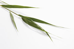 Reeds leaves (Phragmites) Royalty Free Stock Photos