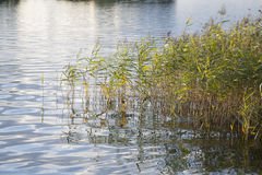 Reeds and Long Grass Stock Images