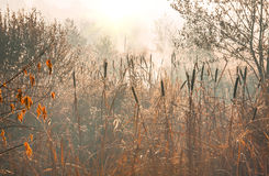Reeds in the marsh early morning autumn Royalty Free Stock Photography