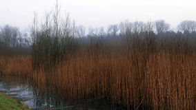 Reeds and marsh. Royalty Free Stock Image
