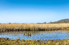Reeds in marshland, Leighton Moss RSPB, Lancashire, England. Reeds in marshland at Leighton Moss RSPB bird reserve against blue skies in Lancashire, England on royalty free stock photos