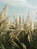 Reeds. By Moda, Kadikoy, Istanbul Royalty Free Stock Photography