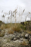 Reeds on mossy rock. On a windy day Stock Image