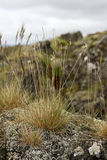 Reeds on mossy rock. On a windy day Royalty Free Stock Photography