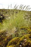 Reeds on mossy rock. On a windy day Royalty Free Stock Photos