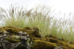 Reeds on mossy rock. On a windy day Royalty Free Stock Images