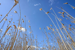 Reeds Moved by the Wind Royalty Free Stock Images