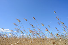 Reeds Moved by the Wind Royalty Free Stock Photography