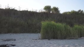 Reeds moving in light wind on baltic sea sand beach stock video