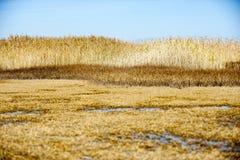 Reeds Nature background Stock Image