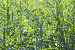 Reeds in nature Royalty Free Stock Photos
