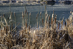 Reeds near a pond in winter Royalty Free Stock Photography