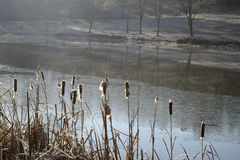 Reeds near a pond in winter Royalty Free Stock Photo