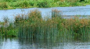 Reeds in the Nile river. Reeds in the middle of the Nile river royalty free stock photo