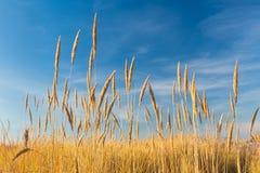 Reeds over blue sky Stock Photos