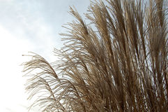 Reeds Stock Photography