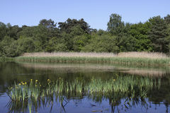 Reeds and plants reflected in Bolder Mere lake Stock Photo