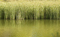 Reeds in a pond. Tall Reeds in a pond casting reflections stock photo