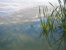Reeds in a pond Royalty Free Stock Image