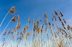 Reeds at the pond against blue sky Stock Image