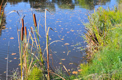Reeds on the pond Royalty Free Stock Photos