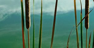 Reeds in pond Royalty Free Stock Photos