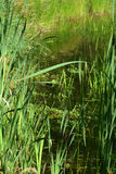 Reeds and pond grass Stock Photography