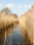 Reeds in a Pond looking crisp and neat Royalty Free Stock Photos