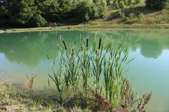 Reeds grow on the lake Royalty Free Stock Photo