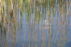 Reeds reflected in pound water Royalty Free Stock Photo