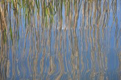 Reeds reflected in pound water Royalty Free Stock Photos