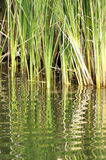 Reeds Reflected in Water Royalty Free Stock Photography