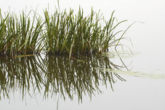 Reeds with Reflection Royalty Free Stock Images