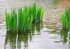 Reeds, reflection in the river Stock Photo