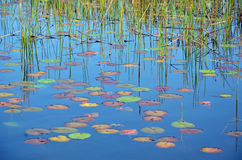 Reeds, reflections and colorful Waterlily pads Stock Photography