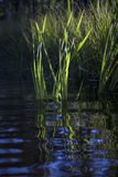 Reeds and reflections. Green reeds and very blue sky reflected in rippled water of river Royalty Free Stock Photos